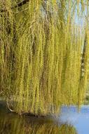 Weeping Willow Branches