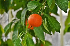 ripe mandarin on a green tree