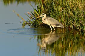 grey Heron stands in water at reeds