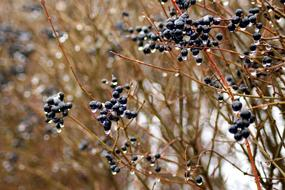 wet black berries on a bush