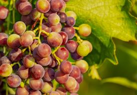 ripening Grapes on Vine close up