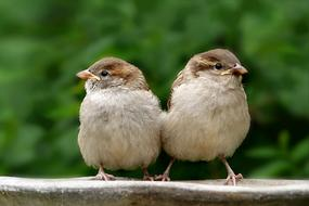 two cute sparrows