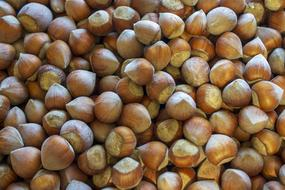 pile of Hazelnuts in Shell