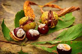 raw Chestnut fruits and autumn leaves