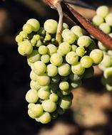 sharp green Wine Grapes on blurred background