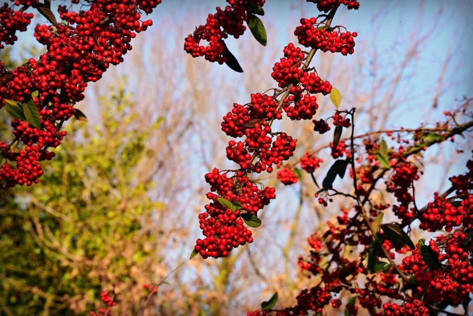 bunches of rowan berries on a blurred background on a sunny day