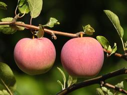 two pink apples on a branch