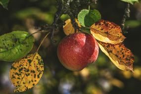 ripe apple on a branch in autumn close-up