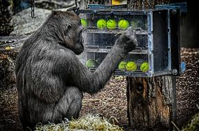 gorilla plays with tennis balls at the Hellabrunn zoo in Munich