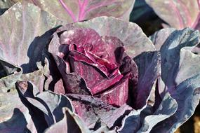 beautiful Red Cabbage Kohl