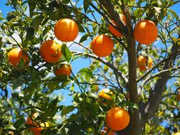 Oranges, ripe Fruits on Tree at sky