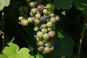 unripe grapes on the vine on a sunny day