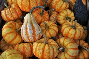 autumn striped pumpkins