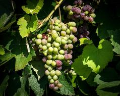 green and purple Grapes ripening on Grapevine