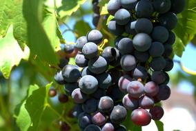 Purple wine grapes with the green leaves