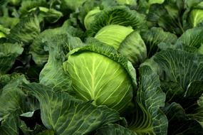 Kohl Herb Cabbage
