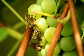 appetizing Grapes Fruit