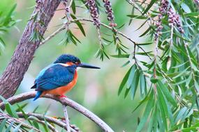 Kingfisher, colorful Bird perched branch in wild