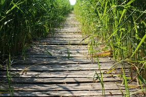 wooden weathered Footbridge through thickets of cane
