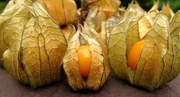tasty Physalis Fruit