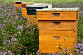 wooden beehives on a flowering meadow