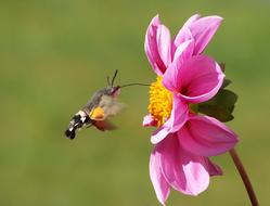 Hummingbird Hawk Moth feeding on pink dahlia flower