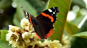 beautiful black-orange butterfly on a mediterranean flower