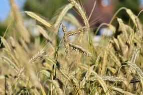 photo of natural wheat on the field