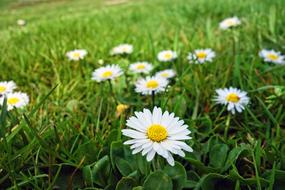 white daisies on a green meadow in a blur