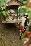 Great spotted woodpecker near the feeder close-up