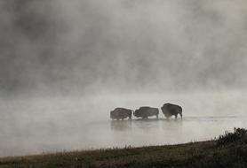 three bison in a misty body of water in Yellowstone National Park, Wyoming