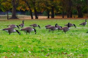 perfect Canada Goose Meadow
