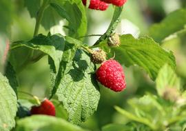 ripe raspberries in a country garden