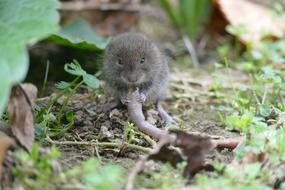 gray mouse nibbles root in the garden