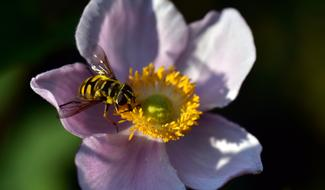 Hoverfly Anemone flower