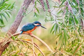 small Kingfisher Bird