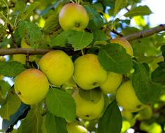 harvest of green apples on a tree branch in Colorado