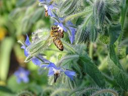 bee is sitting on a borage flower