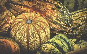 photo of the harvest of yellow-green pumpkins