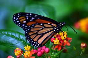 Monarch Butterflies and flowers