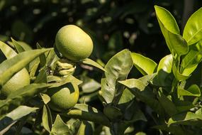 green lemon tree with fruits