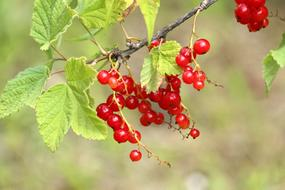 Currant Berry Nature red