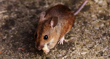 Mouse Rodent Nager