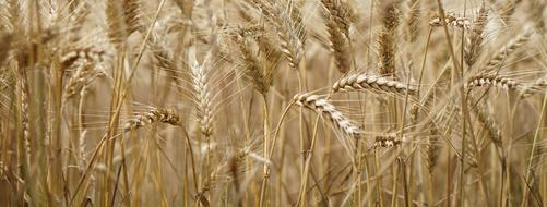 dry gold Wheat