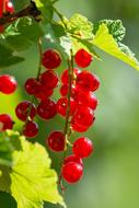 Currants Red sunset