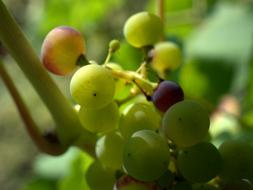 Grapes Winegrowing