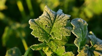 Leaf Frost Green