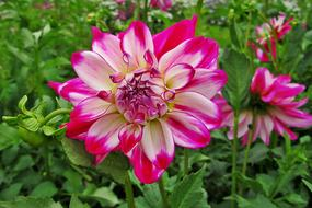 Dahlia, Pink and White fluffy flowers