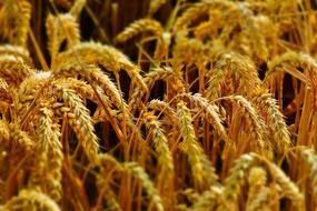 macro photo of golden wheat