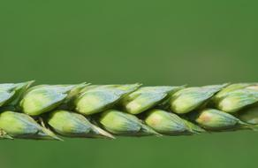 green Wheat ear Close up, detail